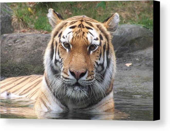 Bronx Zoo Canvas Print featuring the photograph Siberian Tiger by Alan Lampson