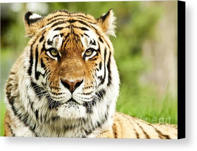 Siberian Canvas Print featuring the photograph Siberian Tiger Beautiful Closeup by Boon Mee