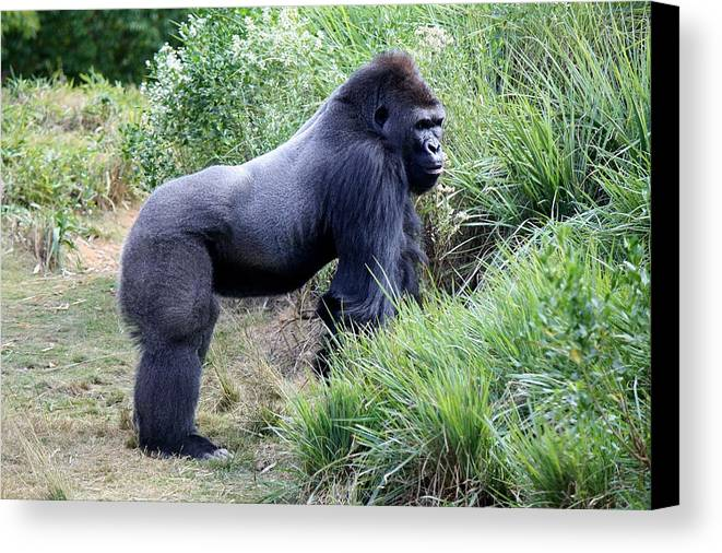Ape Canvas Print featuring the photograph Silverback Gorilla by Paulette Thomas