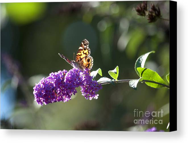 Butterfly Canvas Print featuring the photograph Sipping On Syrup by Affini Woodley
