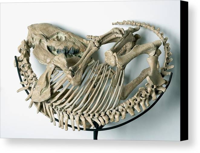 Animal Skeleton Canvas Print featuring the photograph Skeleton Of An Extinct Rhinoceroses by Dorling Kindersley/uig