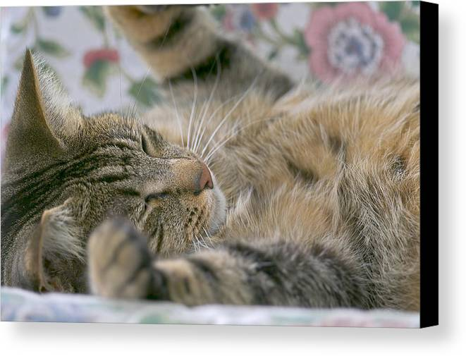 Cat Canvas Print featuring the photograph Sleeping Kitty by Sharon Talson