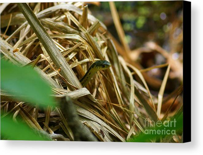 New Hampshire Canvas Print featuring the photograph Snake Peeking by Kyle Neugebauer