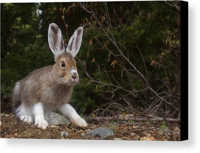 Hare Canvas Print featuring the photograph Snowshoe Hare Changing Colors by Tom Reichner