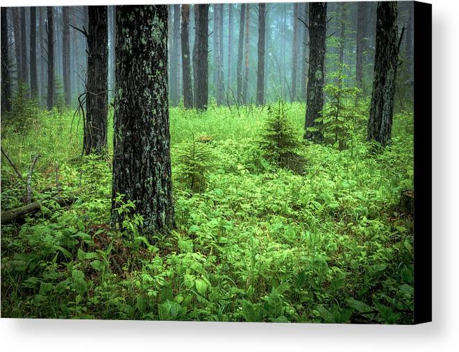 solstice Glow Solstice Woods Green Trees Forest Fog Mist hawk Ridge Duluth Minnesota Summer lake Superior summer Solstice Lush Magic Nature greeting Cards mary Amerman Canvas Print featuring the photograph Solstice Glow by Mary Amerman