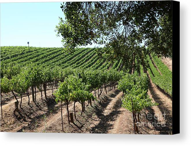 Vineyard Canvas Print featuring the photograph Sonoma Vineyards In The Sonoma California Wine Country 5d24594 by Wingsdomain Art and Photography