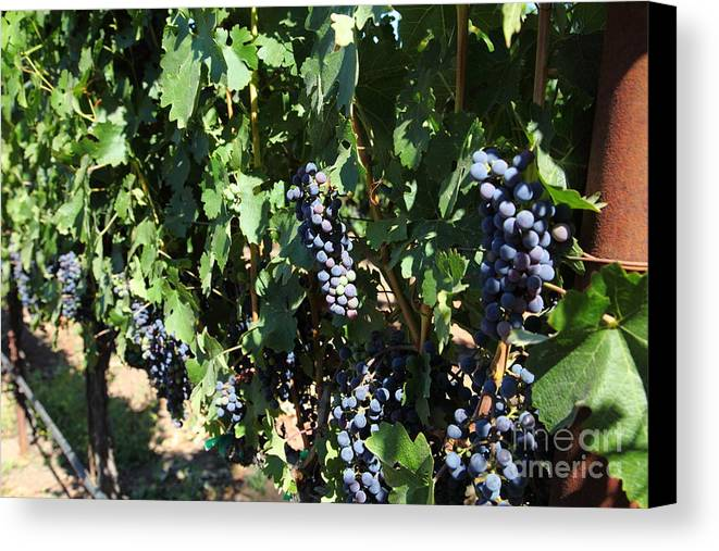 Vineyard Canvas Print featuring the photograph Sonoma Vineyards In The Sonoma California Wine Country 5d24629 by Wingsdomain Art and Photography