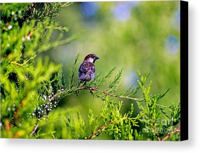Bird Canvas Print featuring the photograph Sparrow by Karen Adams
