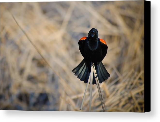 Red Wing Blackbird Canvas Print featuring the photograph Squawk by Melinda Weir
