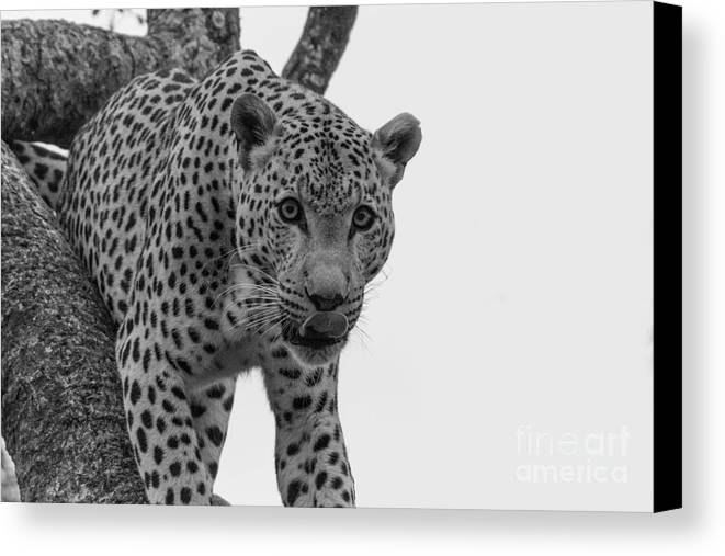 Leopard Canvas Print featuring the photograph Stare by Kobus Van der Merwe