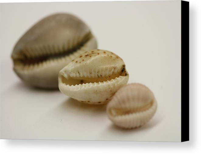 Seashell Canvas Print featuring the photograph Succession by Brianna Black