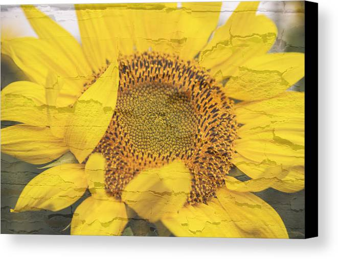 Sunflower Canvas Print featuring the photograph Sunflower Drying Up by Melvin Busch