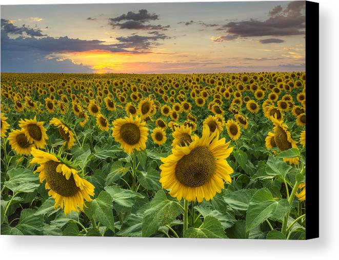 Sunflowers Canvas Print featuring the photograph Sunflower Images - A Field Of Golden Texas Wildflowers by Rob Greebon