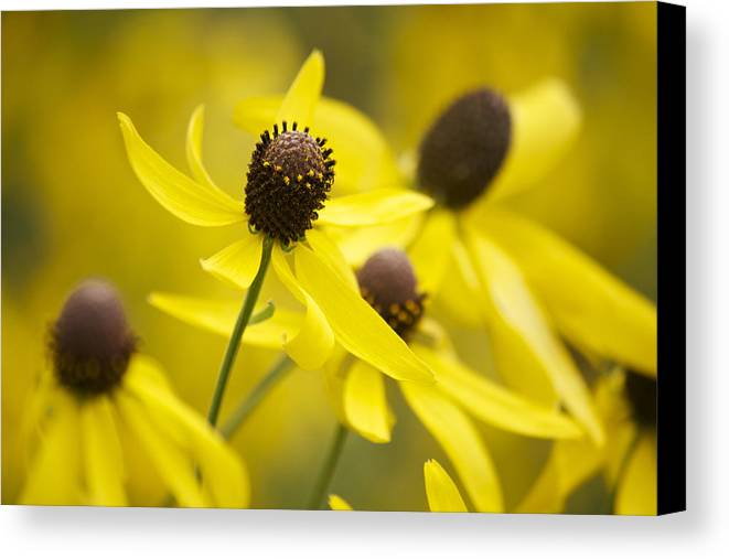Yellow Coneflower Canvas Print featuring the photograph Sunshine On A Cloudy Day by Penny Meyers