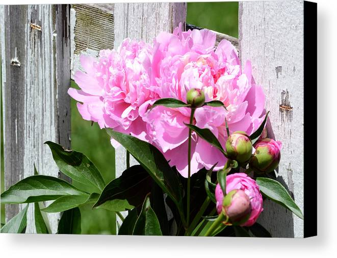 Peony Canvas Print featuring the photograph Supporting Peony by Kim Hymes