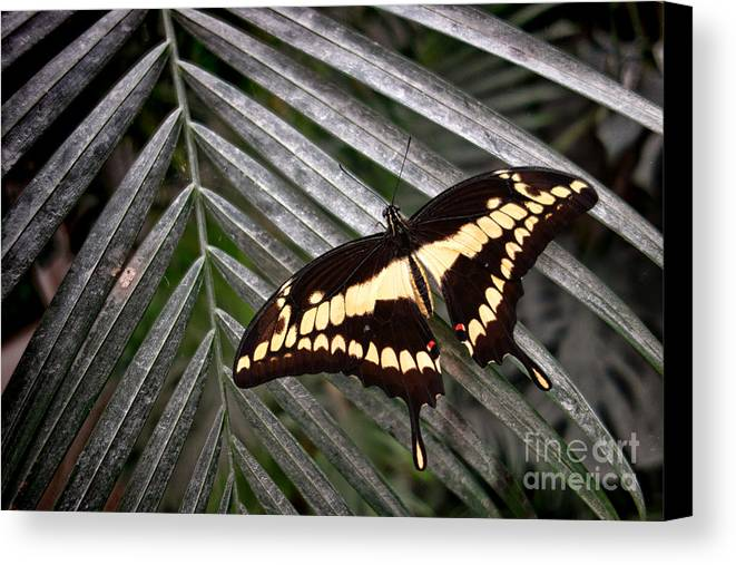 Swallowtail Canvas Print featuring the photograph Swallowtail Butterfly by Olivier Le Queinec