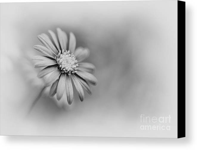 Swan River Daisy Canvas Print featuring the photograph Swan River Daisy Monochrome by Tim Gainey