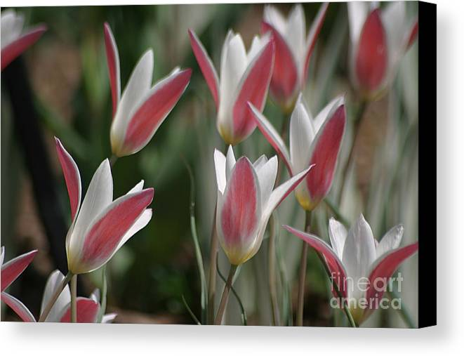 Tulips Canvas Print featuring the photograph Swaying To The Music by Living Color Photography Lorraine Lynch