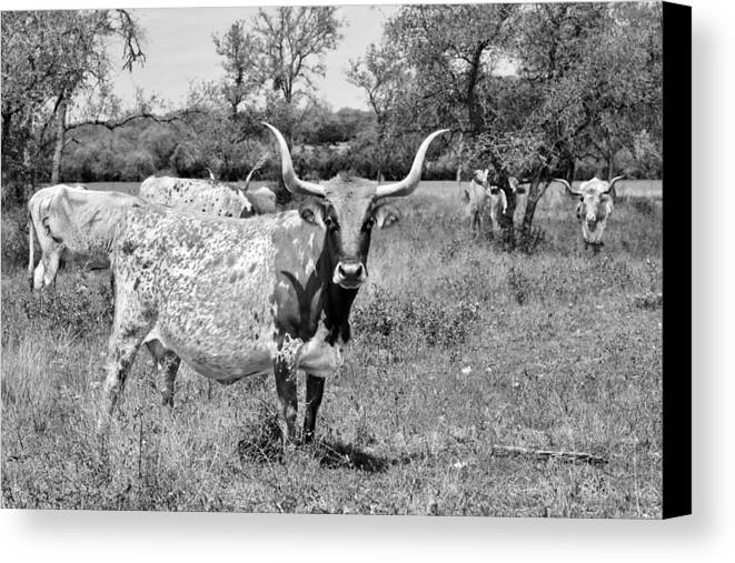 Longhorn Canvas Print featuring the photograph Texas Longhorns A Texas Icon by Christine Till
