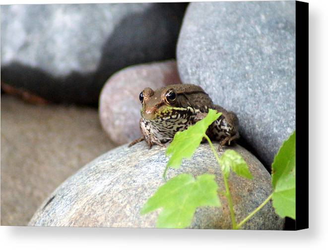 The Bronze Frog Canvas Print featuring the photograph The Bronze Frog by Kim Pate