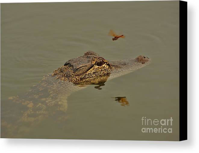 Alligator Canvas Print featuring the photograph The Daring Dragonfly by Lynda Dawson-Youngclaus
