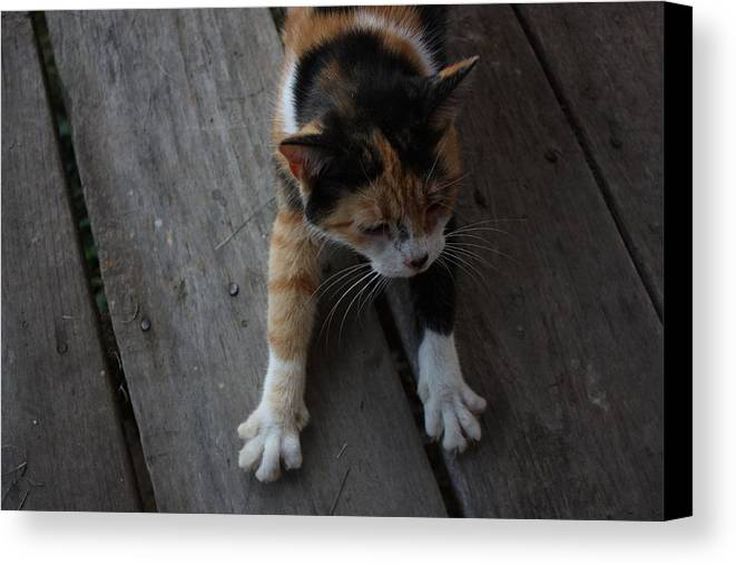Calico Cat Canvas Print featuring the photograph The Morning Stretch by Josh Brown