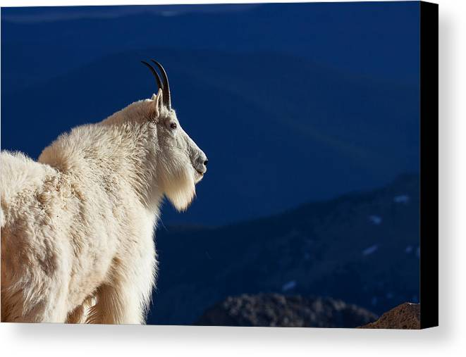Mountain Goats Canvas Print featuring the photograph The Seer by Jim Garrison