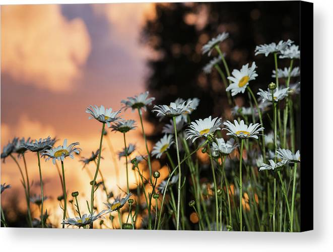 Sunrise Canvas Print featuring the photograph The Sun Sets Over Daisies Astoria by Robert L. Potts