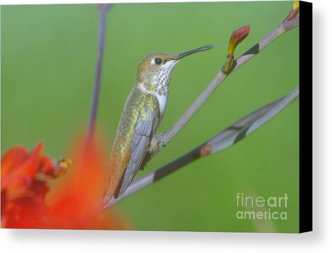Tongue Canvas Print featuring the photograph The Tongue Of A Humming Bird by Jeff Swan