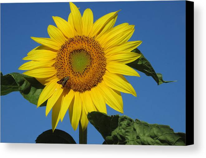 Sunflower Canvas Print featuring the photograph The Touch Of Sun by Roberta Roddy