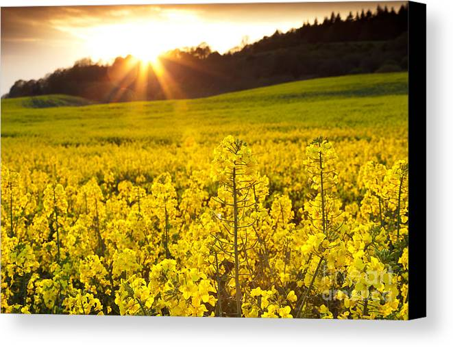 Yellow Canvas Print featuring the photograph The Yellow Rapeseed Field Beautiful by Boon Mee