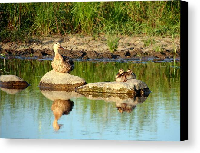 Duck Canvas Print featuring the photograph These Ducks Rock by Laurel Talabere