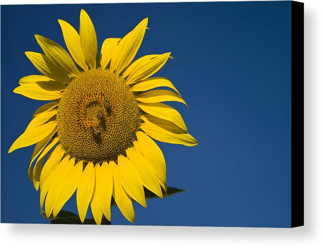 3scape Photos Canvas Print featuring the photograph Three Bees And A Sunflower by Adam Romanowicz
