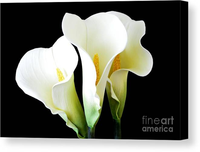 Calla Lilies Canvas Print featuring the photograph Three Calla Lilies On Black by Mary Deal