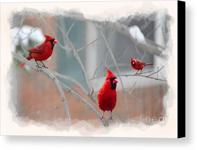 Cardinal Canvas Print featuring the photograph Three Cardinals In A Tree by Dan Friend