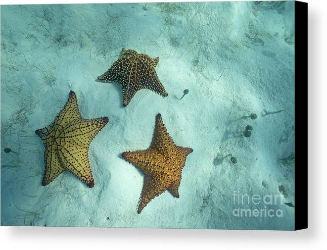 Abundance Canvas Print featuring the photograph Three Starfishes On Sandy Seabed by Sami Sarkis
