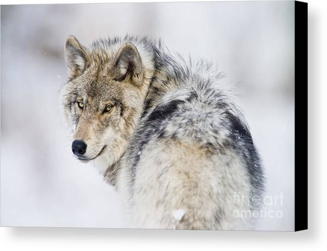 Timber Wolf Canvas Print featuring the photograph Timber Wolf Pictures 1268 by World Wildlife Photography