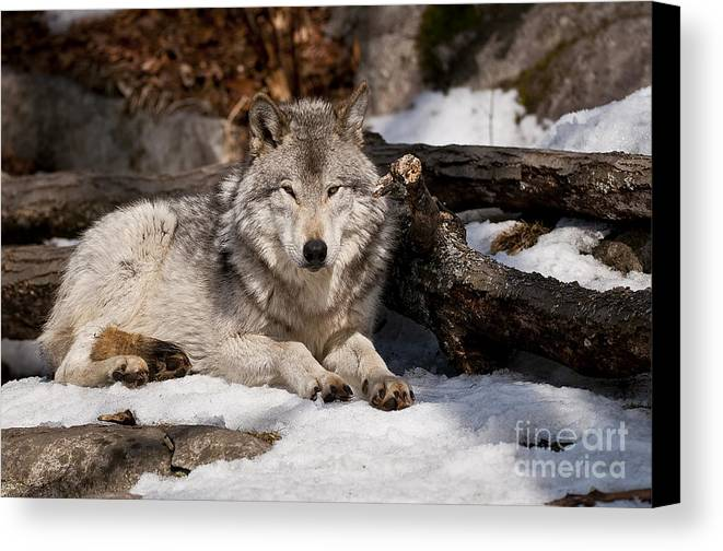 Timber Wolf Canvas Print featuring the photograph Timber Wolf Pictures 776 by World Wildlife Photography