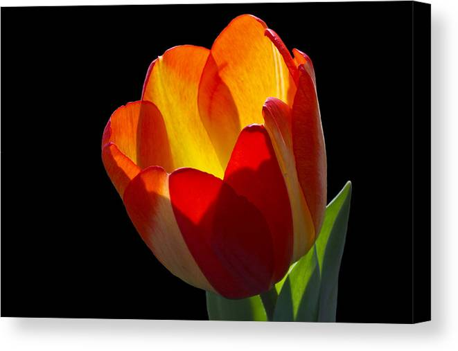 Tulip Canvas Print featuring the photograph Tippy by Doug Norkum