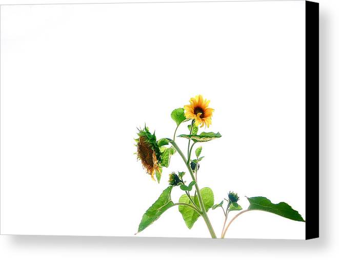 Sunflower Canvas Print featuring the photograph To Be Blessed by Carolee Salat