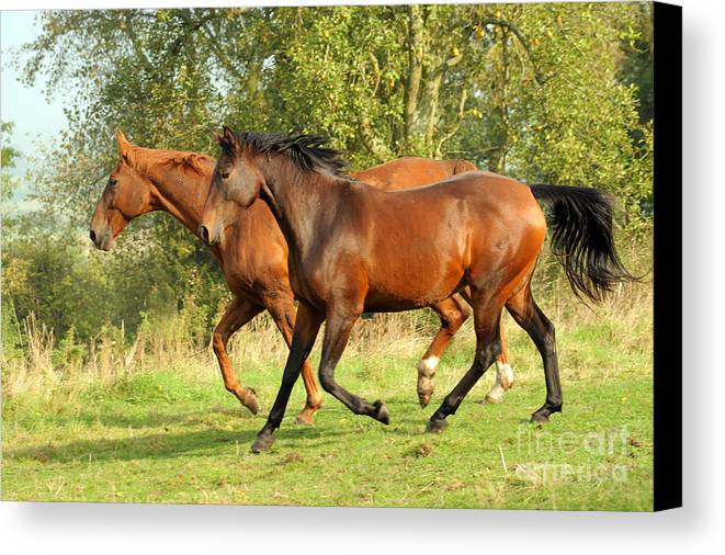 Horse Canvas Print featuring the photograph Together Now by Angel Ciesniarska