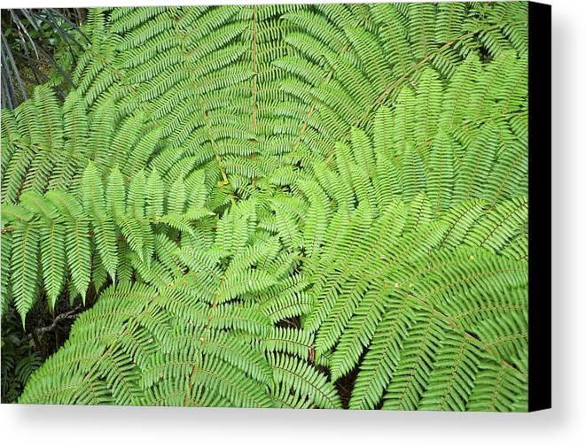 Bush Canvas Print featuring the photograph Tree Fern (ponga by David Wall
