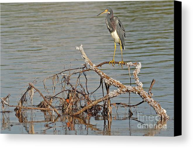 Tri-colored Heron Canvas Print featuring the photograph Tri-colored Heron On The Water by Natural Focal Point Photography