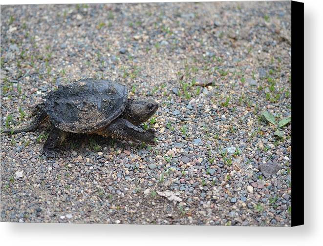 Common Snapping Turtle Canvas Print featuring the photograph Truckin' by Lisa Thomas
