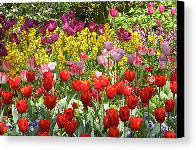 Bloom Canvas Print featuring the photograph Tulips In St James's Park, London by David Wall