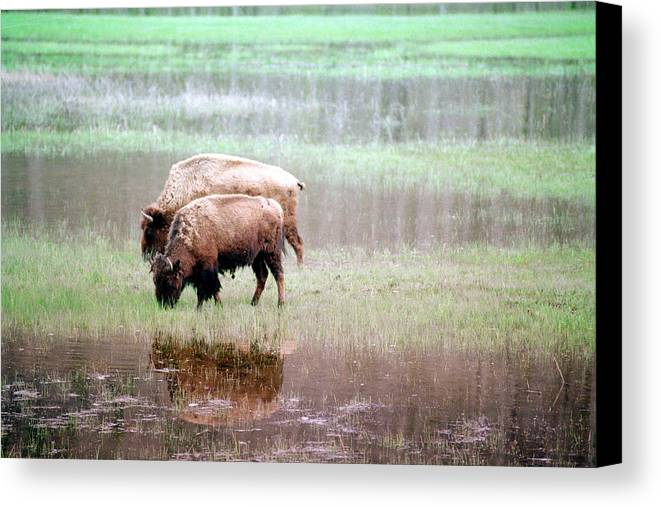 Bison Canvas Print featuring the photograph Twin Bison by Todd Roach