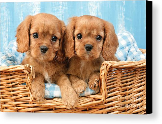 Cavalier Canvas Print featuring the digital art Two Puppies In Woven Basket Dp709 by Greg Cuddiford
