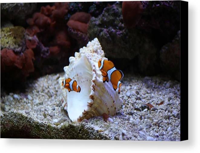 Clown Fish Canvas Print featuring the photograph Vibrant Clowns by Jessi Boise