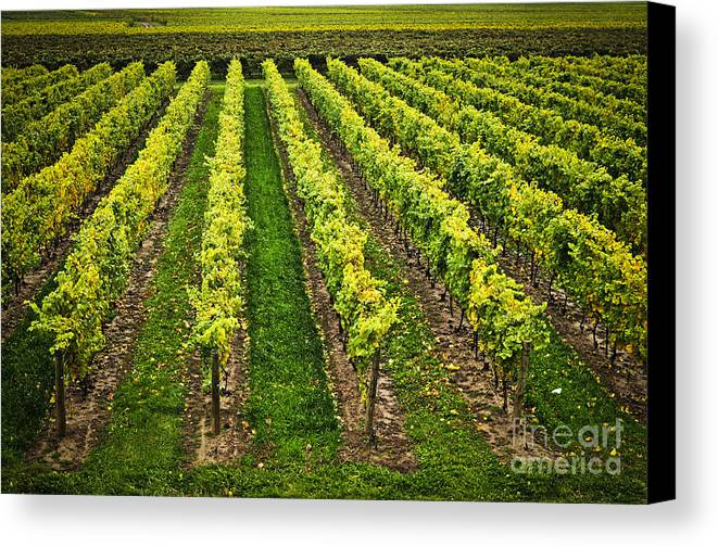 Row Canvas Print featuring the photograph Vineyard by Elena Elisseeva