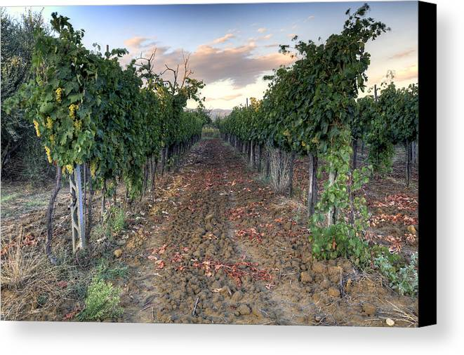 Vineyard Canvas Print featuring the photograph Vineyard In Tuscany by Al Hurley